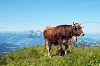 'Allgäuer Braunvieh' auf der Nagelfluhkette
