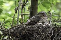 gathering its chicks... Eurasian Sparrowhawk *Accipiter nisus*
