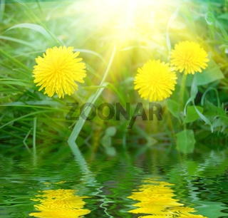 three yellow dandelions in fresh green grass and sunlight