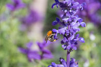 Honeybee collecting pollen from purple flowers.