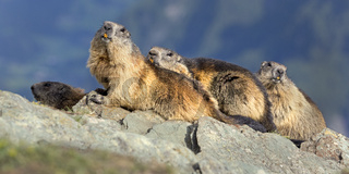 Murmeltiere (Marmota marmota), Franz-Josefs-Hšhe, Nationalpark Hohe Tauern, KŠrnten, …sterreich, Europa