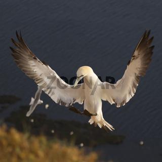 Basstoelpel im Landeanflug