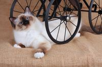SACRED CAT OF BIRMA, BIRMAN CAT, SEAL-POINT, ADULT, LIES UNTER DOLL´S CAR,