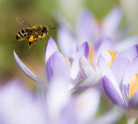 Flying honeybee pollinating a purple crocus flower