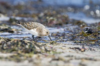 Sanderling looking for food