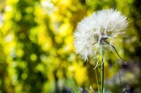 Close-up of a dandelion (Taraxacum officinale) in the vineyards.