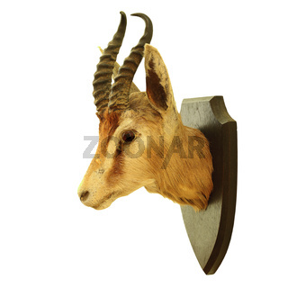 hunting trophy of Antidorcas marsupialis isolated over white background