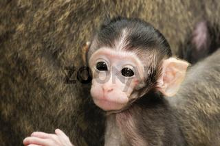 Long-taile macaque-Langschwanzmakak