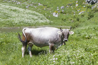 Cow on herbs meadow
