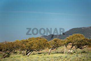 Korkeichen in Sardinien vom Wind geformt