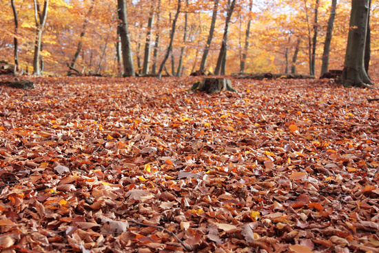 forest ground covered with autumn leaves