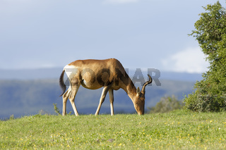Red Hartebeest grazing, Addo Elephant National Park