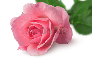 Closeup of rose flower rotated