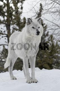 grimmig... Timberwolf *Canis lupus*