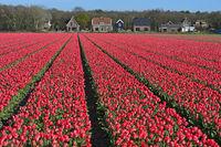 Field of pink tulips for the production of flower bulbs, Bollenstreek , Noordwijkerhout,Netherlands