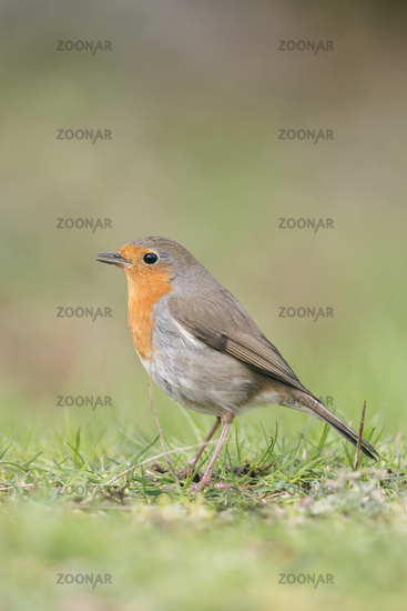 singing its song... Robin Redbreast *Erithacus rubecula*