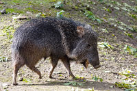 nise pig Chacoan peccary, Catagonus wagneri