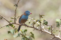 Blue-capped Cordon-bleu male sitting on a branch on a sunny day