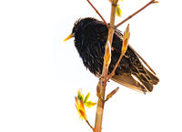 Isolated common starling bird on a twig