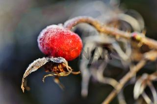 Hagebutte am Wintermorgen