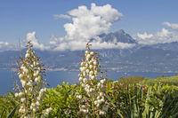 Yucca gloriosa with Lake Garda
