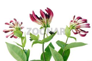 Honeysuckle flowers