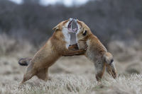 in heavy fight... Red Foxes *Vulpes vulpes*