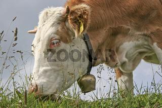 Kuh auf einer Bergwiese