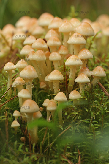 Sulfur cup (Hypholoma fasciculare)