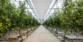 Great Tomato Nursery