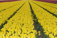 Blooming tulip field of yellow tulips, Bollenstreek, Netherlands