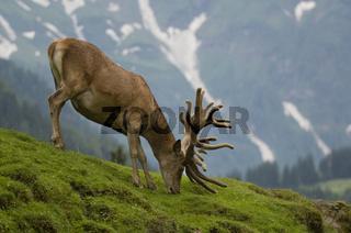 Rothirsch Bastgeweih, red deer, Cervus elaphus
