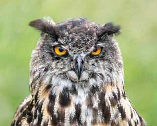 Eurasian Eagle Owl II