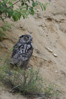 under bushes... Eurasian Eagle Owl *Bubo bubo* perched in the slope of a sand pit