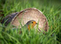 Robin hiding in long grass against a log in the sunlight