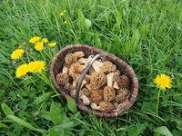 Basket with Common Morels or Yellow Morels - Morchella esculenta