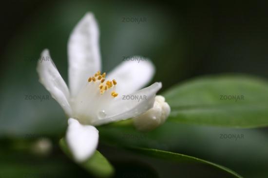 Blossom of citrus