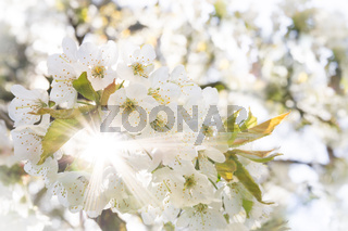 White cherry blossoms in spring sun with sunbeams and soft bokeh