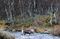 Reindeer / Mountain Reindeer / Norwegian Reindeer / Northern Reindeer