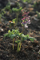 Hollowroot-birthwort, Corydalis cava
