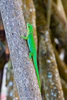 La Digue Day Gecko (Phelsuma sundbergi ladiguensis)