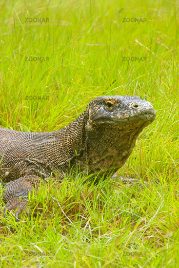 Portrait of Komodo dragon lying in grass on Rinca Island in Komodo National Park, Nusa Tenggara, Indonesia