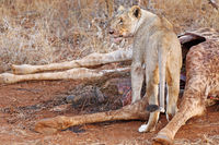lioness at a carcass of a dead giraffe, South Africa