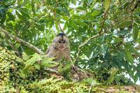 Capuchin monkey in Misahualli, Amazon Napo province, Ecuador
