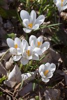 first flowers in spring, white crocuses