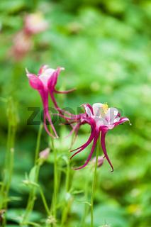 aquilegia glandulosa flower