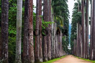 The Palm alley in The Botanical Garden in Rio de Janeiro, Brazil