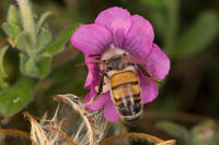 A beutiful bee, apis mellifera, working on flower