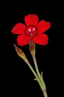 Heide-Nelke, Leuchtfunk (Dianthus deltoides)