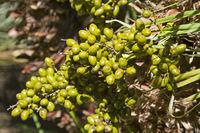 Früchte der Zwergpalme